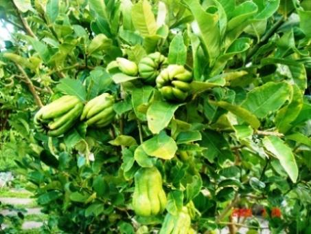 佛手柑之英文名是由义大利一个小城柏加摩(bergamo)之名而来,因为这种