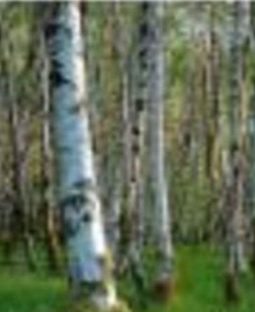 其中有刀枪不入的铁桦树,入水即沉的坚桦树,红桦和穿著褐色外衣的黑桦